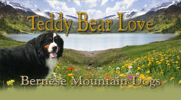 Teddy Bear Love Bernese Mountain Dog Website Akc Bernese Mountain